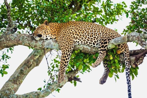 Leopard som hviler etter å ha spist / matet med full mage - veldig slapp og fri