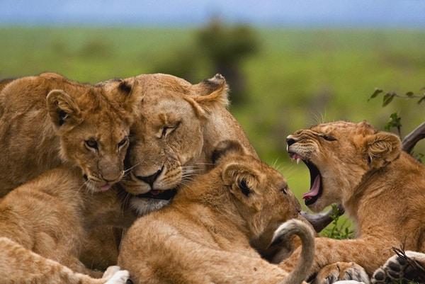 Løvefamilie i Afrika.