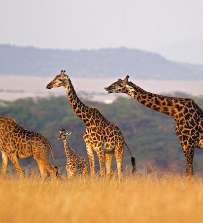 Masai-giraff i alle størrelser på rad mot det bølgende landskapet i Masai Mara, Kenya