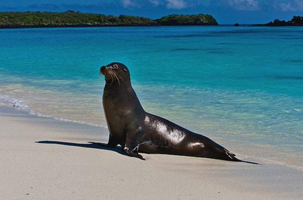 En Galapagos- sjøløve, på Espanola Island Beach, Galapagos.