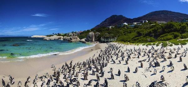 Boulders Beach i Simons Town, Cape Town, Sør-Afrika. Vakre pingviner.