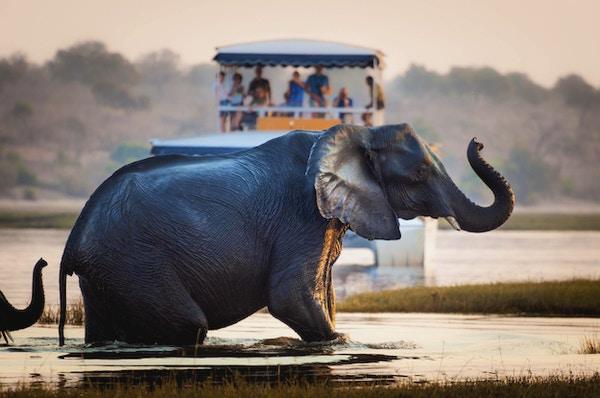 Turist som ser på en elefant som krysser en elv i Chobe nasjonalpark i Botswana, Afrika; Konsept for reisesafari og reise i Afrika