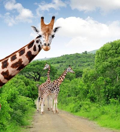 Fire store sjiraffer i Krugerparken i Sør-Afrika