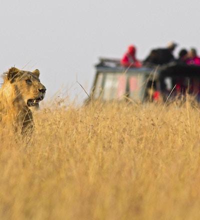 En løvinne som stirrer utover savannen med en safaribil i bakgrunnen