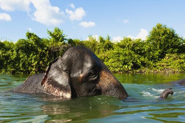 Asiatisk elefant som spruter med vann mens du tar et bad