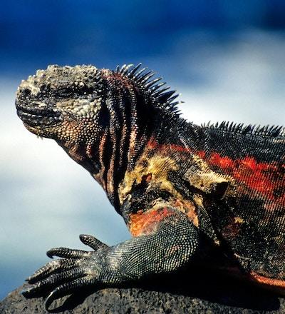 soling Marine Iguana på Espanola Island (Hood), Galapagos