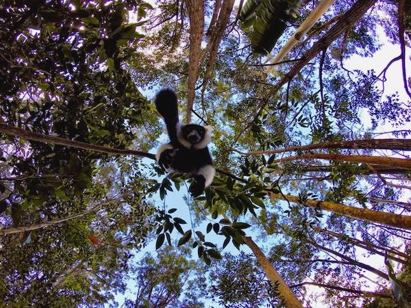 Dyreliv i skogen på Madagaskar