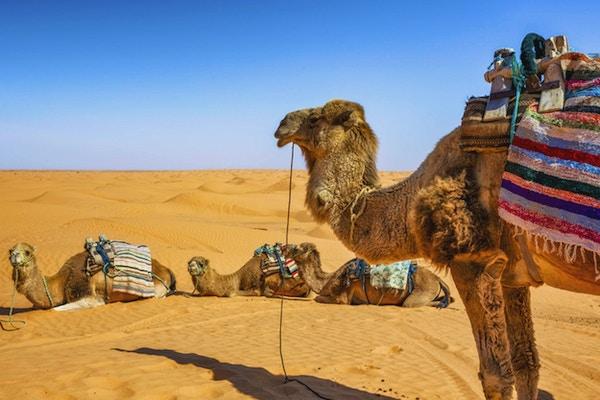 Dromedar i Sahara-ørkenen Ksar Ghilane erg (Tunisia), og venter på turister.
