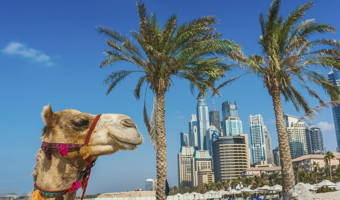 Snuten til den afrikanske kamelens nærbilde