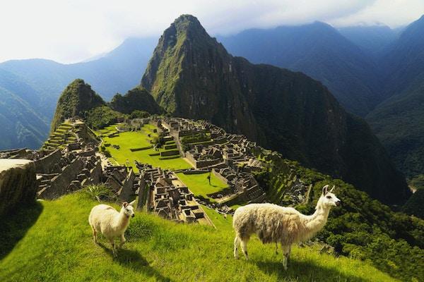 Llama på Machu Picchu i Peru