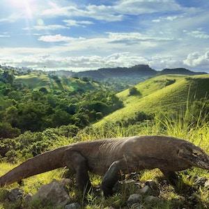 Hver morgen drar Komodo Dragons til highland for å varme opp kroppen sin som gir dem energi for dagen. Og jeg møtte dette øyeblikket og tok dette skuddet med vakker bakgrunn.