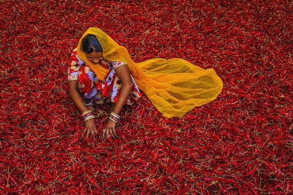 Ung indisk kvinne som sorterer røde chilipepper i nærheten av Jodhpur. Jodhpur er kjent som den blå byen på grunn av de livlige blåmalte husene rundt Mehrangarh-fortet.