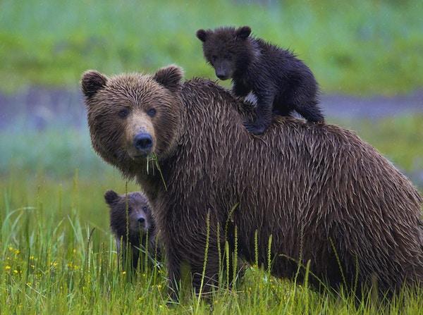 Alaskan Brown Bear Cubs med mor. Spring cub liker å ri på Mothers Back. Fotografert i Lake Clarke nasjonalpark, Alaska.