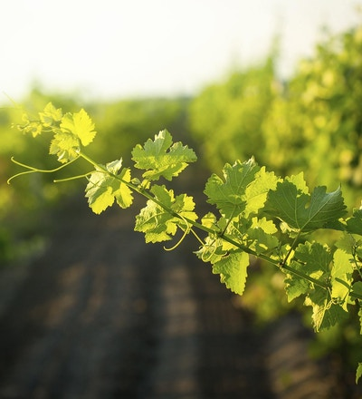 Drueblader i en solrik vingård