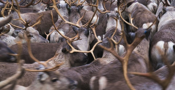 Mange reinsdyr står i tett flokk