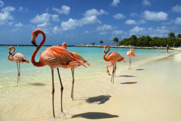Flamingoer som står nær sjøen på en strand i Aruba.