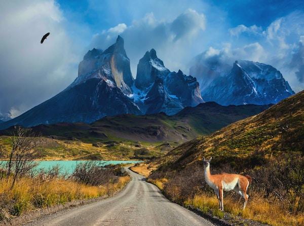 Chile, Patagonia, Torres del Paine nasjonalpark - biosfærereservatet. En oppmerksom guanaco står i veikanten ved innsjøen Pehoe
