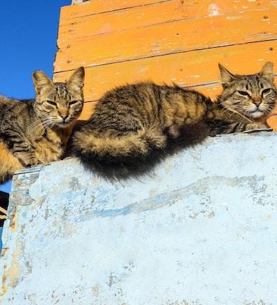 To katter i morgensolen som hviler på veggen, Marokko, Nord-Afrika