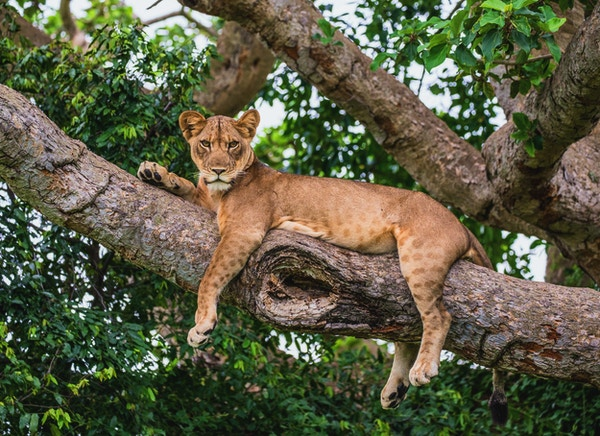 Løvinne som ligger på et stort tre. Nærbilde. Uganda. Øst Afrika. En utmerket illustrasjon.