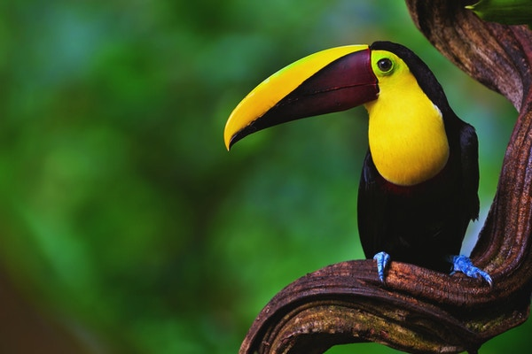 Nærbilde av en tukan, også kjent som swainson's tukan, i regnskogen på Costa Rica.