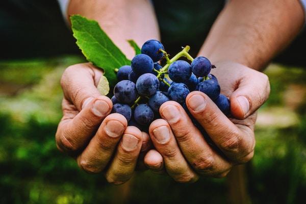 Druehøst. Bondehender med ferskhøstede svarte druer.