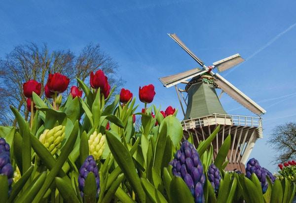 Tulipaner ved vindmøllen
