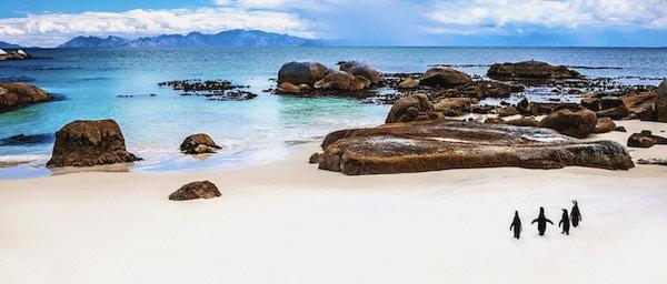 Ville, sørafrikanske pingviner, koloni av svartfot, pingviner, vandring, på, Boulders, strand, inn, Simons, by, skjønnhet, av, dyreliv