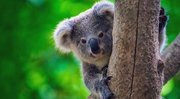 I Healesville Sanctuary lever koalabjørnene i sitt naturlige habitat.