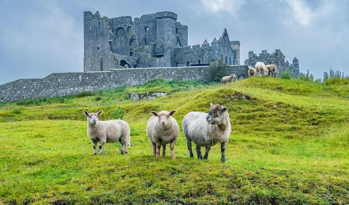 Arkivfoto av sauer med ruinene av katedralen ved Cashel -klippen i bakgrunnen, i Irland, på en overskyet dag.