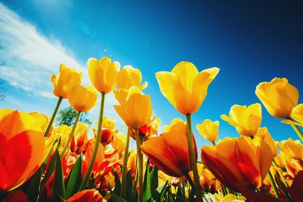 Vakre, gule blomster i solen på en stor blomstereng