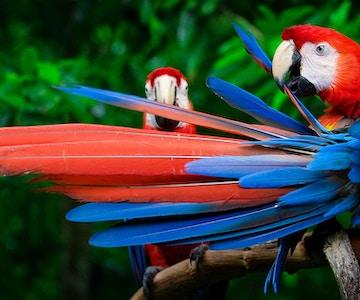 Gullvingerødara i Amazonas