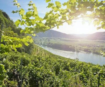 Vingårder i den berømte Donau-dalen - Nedre Østerrike