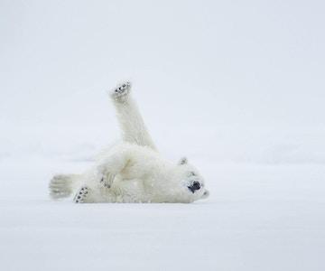 Isbjørn på is. Arktisk hav. Over en tosiders miljø