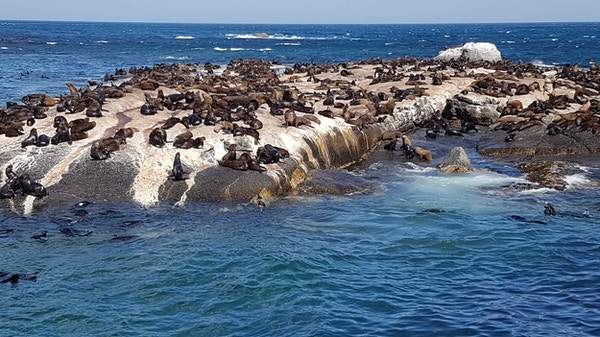 Sjøløvekoloniene i Sør-Afrika er enorme