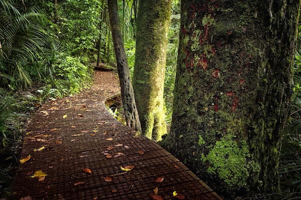 En sti slynger seg gjennom den tropiske regnskogen på New Zealand mellom kauritrær og gigantiske bregner.