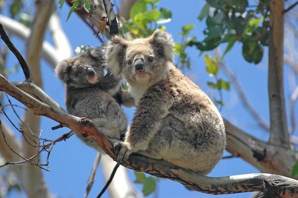 De vakre koalabjørnene er fremdeles en av Australias største turistattraksjoner.