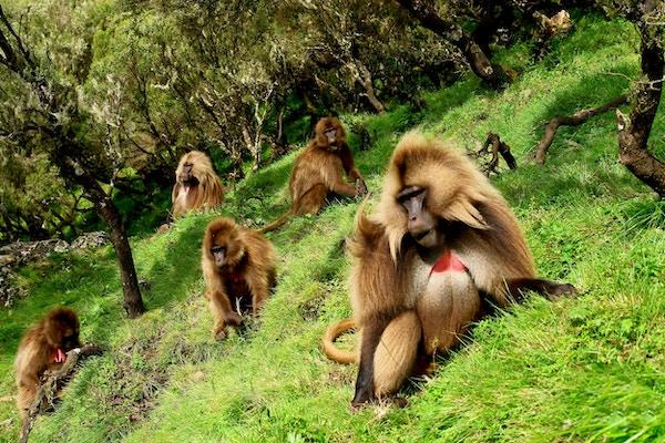 Gelada- bavianene lever et godt liv i Simien nasjonalpark.