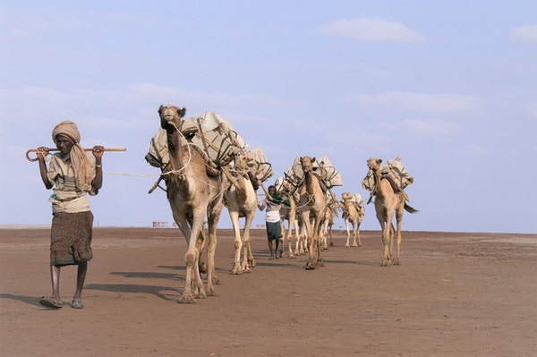Kamelkaravane på vandring i Afar-ørkenen.
