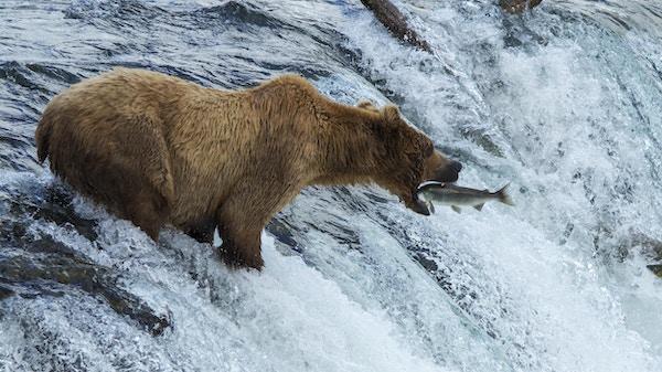 Grizzlybjørn fisker laks i elven.