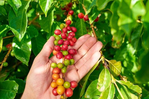 Høsting av kaffebønner på Gran Canaria, Spania.