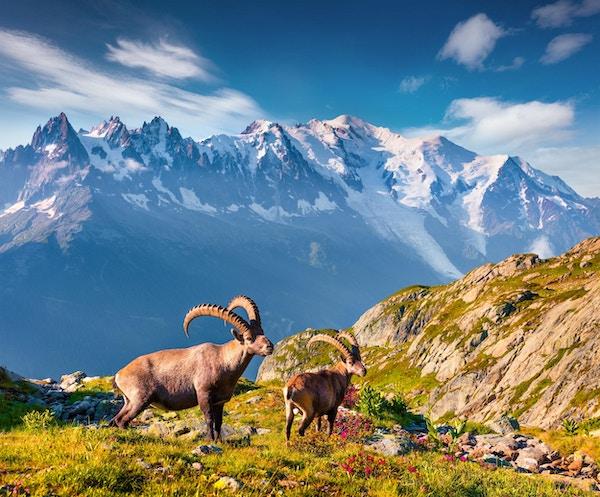 Alpine Ibex (Capra Ibex) på Mont Blanc (Monte Bianco) bakgrunnen. Fargerik sommer morgen i Vallon de Berard naturreservat, Graian Alps, Frankrike, Europa.