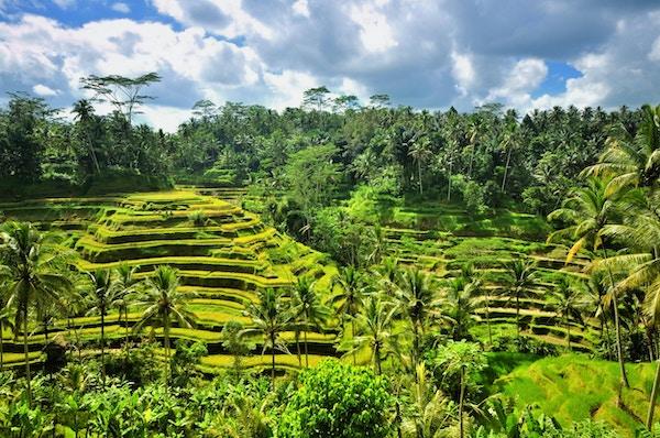 Risterrasse i Ubud, Bali, Indonesia.