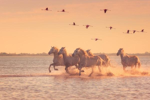 Vakre hvite hester som løper på vannet mot bakgrunnen av flygende flamingoer i mykt solnedgangslys, Parc Regional de Camargue, Bouches-du-rhone, Provence.