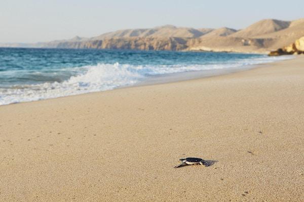 Skilpadde på vei over stranden i havet. Ras Al Jinz, Sultanat av Oman.