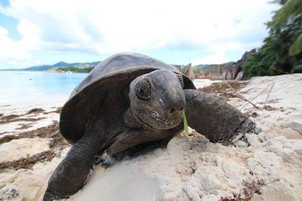 Aldabra Giant Tortoise (Dipsochelys gigantea) er den siste overlevende gigantiske skilpadde arten, som en gang bodde noen øyer i Indiahavet. Skjøtselen når rundt 120 cm i lengde og ca 250 kg. Skilpadden kan leve over 100 år. Aldabra på Mauritius er avledet fra besteforeldre lager importert fra Seychellene i 1880-årene.