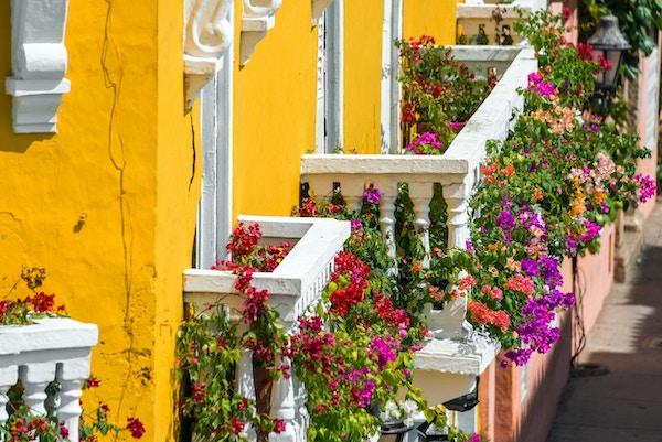 Gule og hvite balkonger dekket av livlige blomster fra Bougainvillea-planteslekten i Cartagena, Colombia