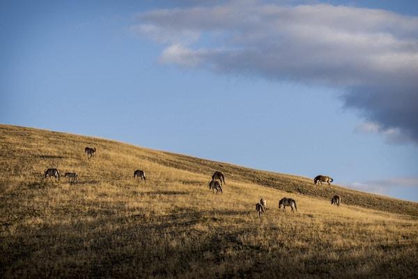 Przewalskihest (Equus ferus przewalskii) på engen om høsten, Hustai National Park, Mongolia.