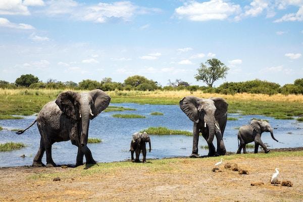 Elefantfamilie ved vannhull, Chobe nasjonalpark, Botswana, Africa