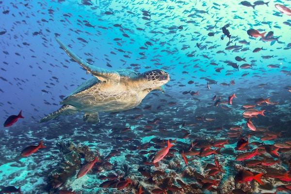 Turtle som svømmer over en fiskeskole i Galapagos