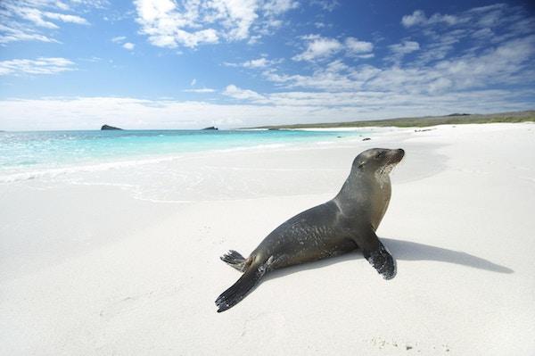 Sjøløve soler seg på en lys, hvit strand med turkise hav ved Gardner Bay, Espanola Island, Galapagos